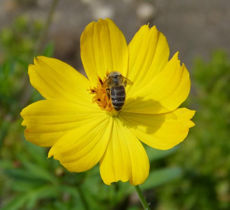 Cosmos jaune