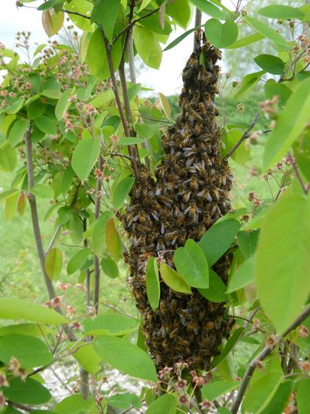 Essaimage devant le rucher