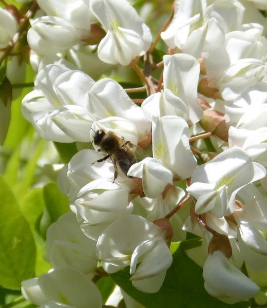 Robinier- Faux Acacia
