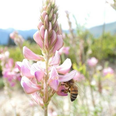 Sainfoin photo jodie galut 1