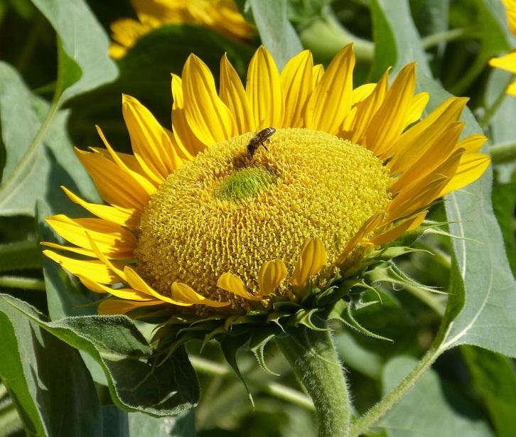Tournesol jaune